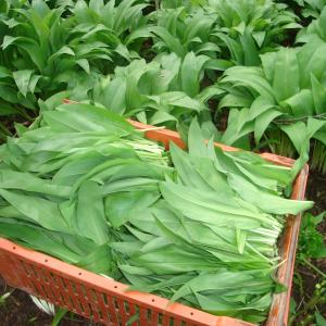 wild garlic kent