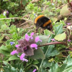 bee on red dead nettle