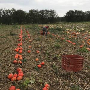 organic squash harvest kent