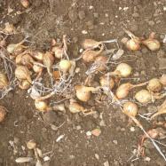Onions drying (organic, Kent)