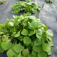 Organic claytonia, salad Kent