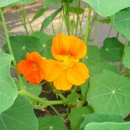 Nasturtium flowers (edible) (organic, Kent)