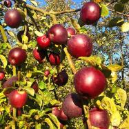 'Spartan' apples (organic, Kent)