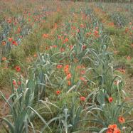 Poppies amongst the leeks (organic, Kent)
