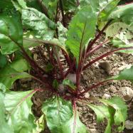 organic beetroot, Kent