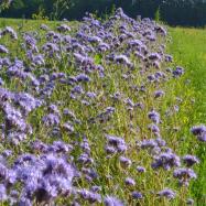 Phacelia (organic, Kent)