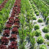 organic salad leaves kent