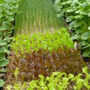 Lettuce seedling (organic, Kent)