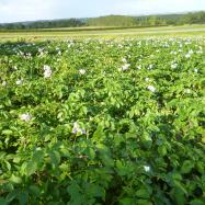 Potatoes (organic, Kent)