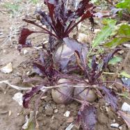 Beetroot (organic, Kent)