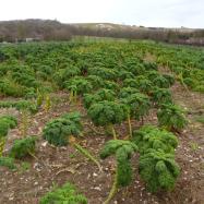 Green curly kale (organic, Kent)