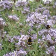 Bees feeding on phacelia (organic, Kent)