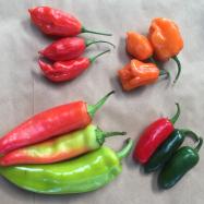 Organic chilli Kent