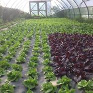 organic lettuce kent