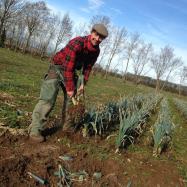harvesting organic leeks kent vegetable box